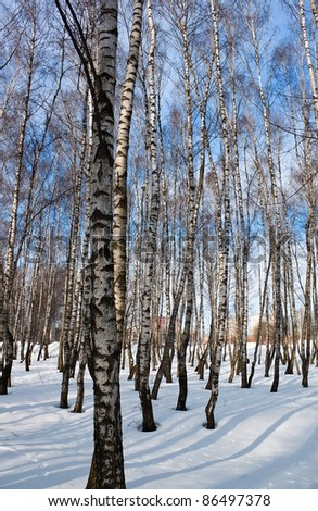 Birch forest in winter time