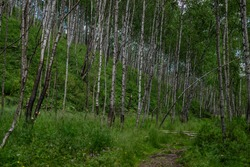 birch forest, many white tree trunks with black stripes and patterns and green foliage diagonally stand together in a thicket on mountain against a blue sky