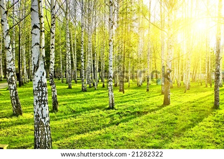 birch forest with long shadows - stock photo
