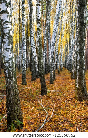 Birch grove in autumn