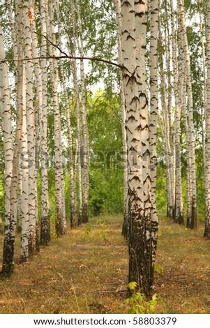 Birch grove. Natural background - a summer birchwood
