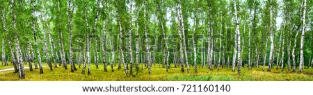 Birch grove on a sunny summer day, landscape banner, huge panorama #721160140