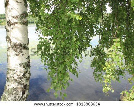 birch in summer with green leaves on the background of the river Photo stock ©
