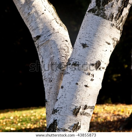 Birch is the name of any tree of the genus Betula in the family Betulaceae, closely related to the beech/oak family, Fagaceae.