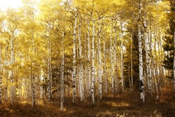 Birch or aspen trees with the yellow leaves of fall bathed in warm sunlight.