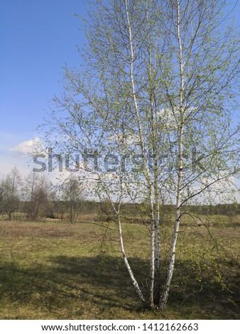 birch, tradition russian tree. summer in Russia. Russia nature  #1412162663