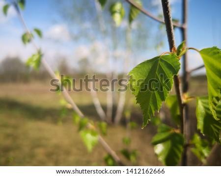 birch, tradition russian tree. summer in Russia. Russia nature  #1412162666