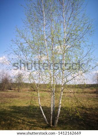 birch, tradition russian tree. summer in Russia. Russia nature  #1412162669