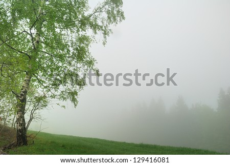 Birch Tree and distant forest in thick fog