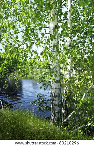 Birch tree by the river in summer