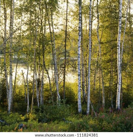 Birch-tree forest, Angermaland, Sweden
