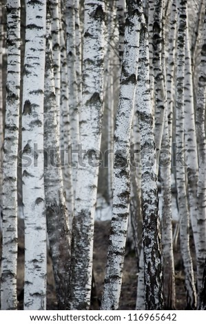 Birch Tree Forest At Spring, Large Background