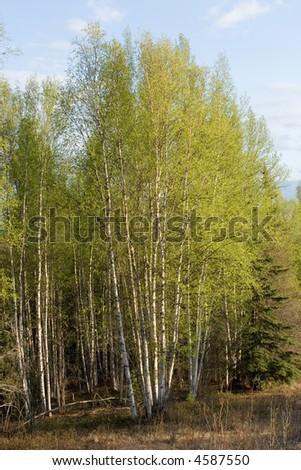 Birch tree forest in Alaska