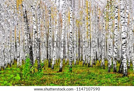 Birch tree forest in autumn background. Autumn birch tree forest landscape. Autumn birch forest view