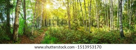 birch tree forest in morning Photo stock ©