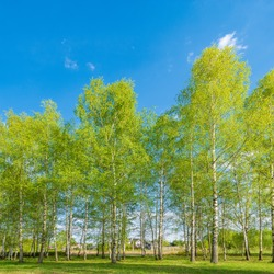 Birch tree grove at spring day time.