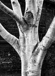 Birch tree in front of the round church, Cambridge