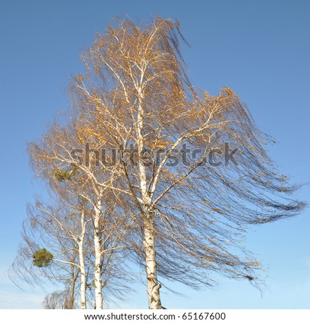 Birch tree swaying in the wind