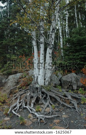 birch tree with exposed roots