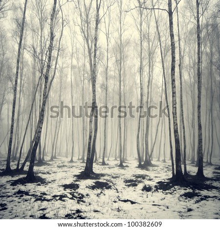 birch trees in  fog