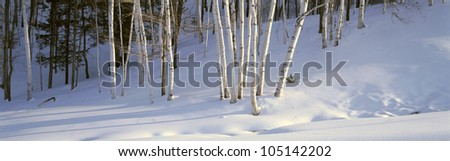 Birch Trees In The Snow, South of Woodstock, Vermont