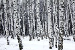 Birch trees, winter forest