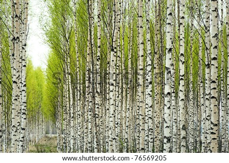 Birch trees with fresh green leaves in spring