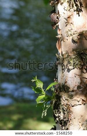 Birch trunk close-up. Natural lighting.