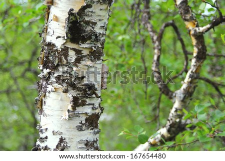 Birch trunk in a forest. Texture, background