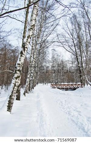 Birch wood in winter