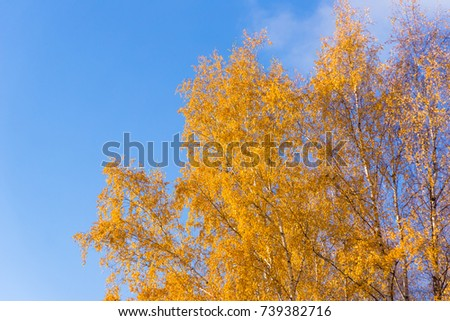 Birches autumn with yellow leaves bottom view - Shutterstock ID 739382716
