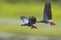 Bird, African grey parrot flying