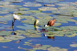 bird African jacana, Actophilornis africanus, walks among water hyacinth leaves and waterlliy flowers. Looking inside flower for food. Bwabwata , Namibia, Africa safari wilderness