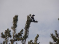 Bird alone on a branch | Grey crow , Hooded crow . animal . bird . crow . wildlife . wild nature