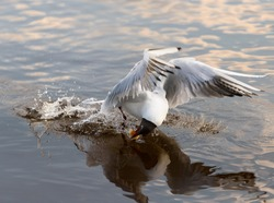 Bird and animals in wildlife. Gull takes a meal from the water under sunlight.