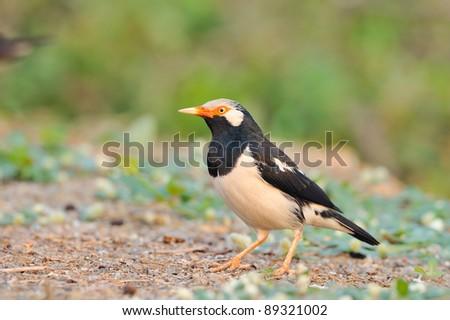 bird [ Asian Pied Starling ]