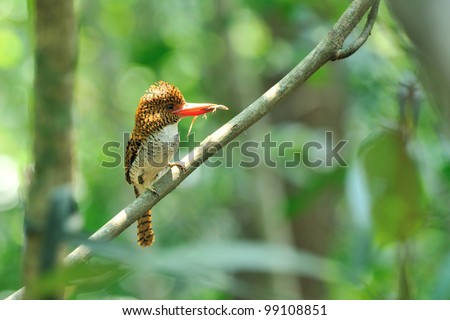 Bird (Banded Kingfisher) , Thailand