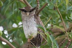 Bird, Barred Eagle Owl
