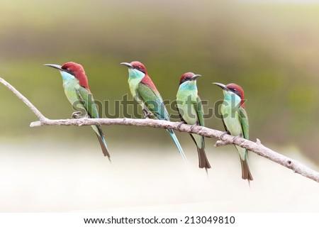 Bird,Beautifu Bee-eate bird ( Blue throated Bee eater) , Bird of Thailand