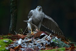 Bird behaviour, wildlife scene from nature. Goshawk with killed Common Pheasant on the moss in green forest, bird of prey in the nature habitat, Germany.  Hawk predator with catch.