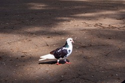 bird black and white pigeon city dweller one close up in summer