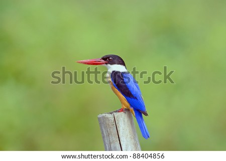 bird { Black-capped Kingfisher }