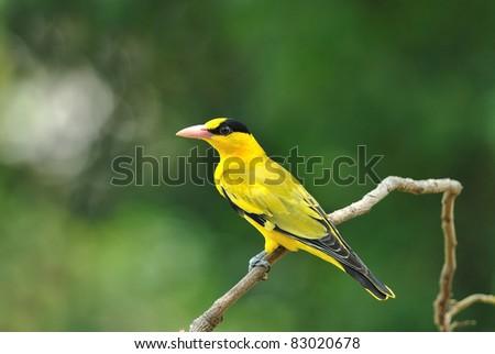 Bird (Black nape oriole) , Thailand