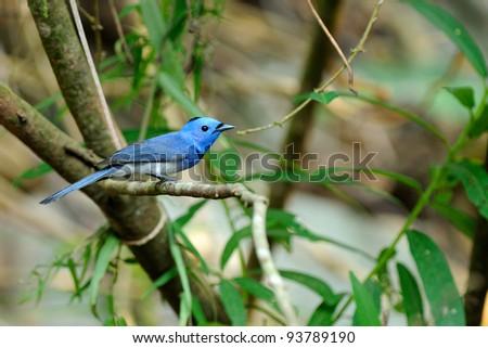 Bird (Black-naped Monarch) , Thailand