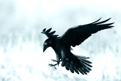 Bird - Black raven (Corvus corax) landing in moonlight. Scary, creepy, gothic setting. Cloudy night. Halloween. Old photograph stylized with scratches and dust. Old, analog photography filter.