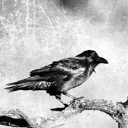 Bird - Black raven in moonlight perched on tree. Scary, creepy, gothic setting. Cloudy night. Halloween. Old photograph stylized with scratches and dust. Old, analog photography filter.