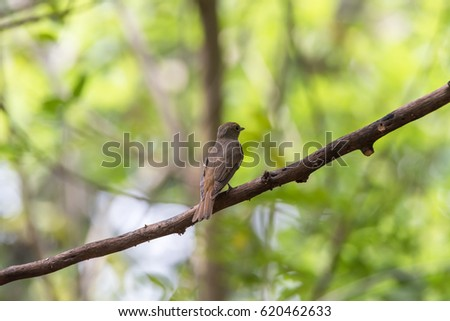 Bird (Blue-and-white Flycatcher, Japanese Flycatcher) female brown color perched on a tree in the garden risk of extinction