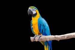 Bird Blue macaw parrot with isolated black background