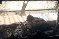 Bird building a nest for baby birds behind wire screen on window architrave of the house.