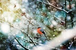 Bird bullfinch on a tree branch in winter